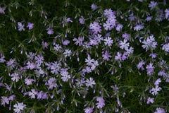 subulata красивейшего phlox цветков малое Стоковое фото RF