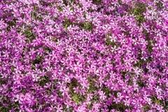 Subulata флокса цветков Стоковая Фотография