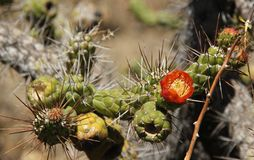 Subulata de Austrocylindropuntia o cactus de la aguja del ` s de Eve Imagenes de archivo