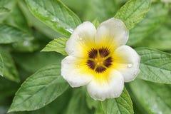 Subulata de Turnera o flor de Sage Rose del blanco Fotografía de archivo libre de regalías