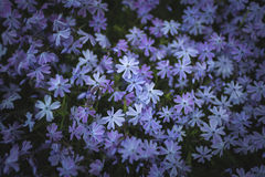 Subulata do Phlox Foto de Stock