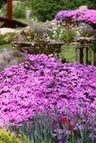 Subulata Phlox σε έναν κήπο Στοκ Εικόνες