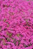 Subulata rosa del flox Fotografia Stock Libera da Diritti