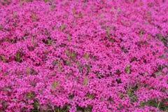 Subulata rosa del flox Fotografie Stock Libere da Diritti