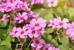 Subulata rosado del polemonio Fotografía de archivo