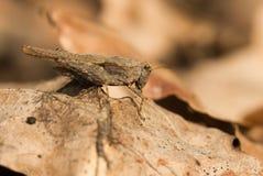 Subulata snello di Groundhopper Tetrix in repubblica Ceca fotografie stock libere da diritti