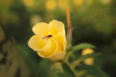 Subulata Turnera στοκ φωτογραφίες με δικαίωμα ελεύθερης χρήσης