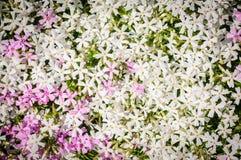 Subulata van de flox De kruipende flox, de mosflox, het mosroze, of de bergflox bloeien achtergrond Vele kleine wit en roze Stock Afbeelding