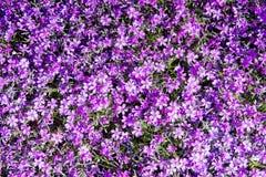Subulataen för floxen för mossafloxen eller bergfloxen som kryper floxen, mossarosa färger är det, en vintergrön perenn som bilda Royaltyfri Fotografi