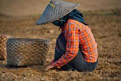 Labor day in peanut fields of Myanmar stock image