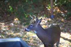 Suburban Backyard Deer Royalty Free Stock Photos