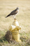 Suburban Hawk Stock Images