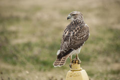 Suburban Hawk Stock Photos
