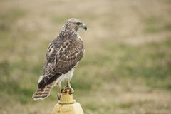 Suburban Hawk Stock Image