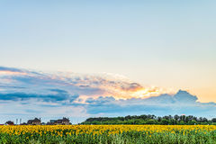 Suburban landscape. Sunset in the spacious sky over the blooming sunflowers field. Royalty Free Stock Photography