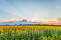 Suburban landscape. View of the sunset over the blooming sunflowers field. Royalty Free Stock Images