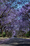 Suburban road with line of jacaranda trees and small branch with. Flowers on Stock Photo