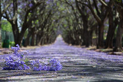 Suburban road with line of jacaranda trees and small branch with Stock Photography