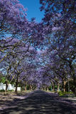 Suburban road with line of jacaranda trees and small branch with Stock Photo