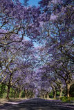 Suburban road with line of jacaranda trees and small branch with. Flowers on Stock Photography