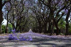 Suburban road with line of jacaranda trees and small branch with. Flowers on Stock Photos