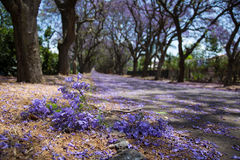 Suburban road with line of jacaranda trees and small branch with Royalty Free Stock Images