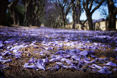 Suburban road with line of jacaranda trees and small flowers Royalty Free Stock Photos