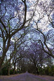 Suburban road with line of jacaranda trees and small flowers Royalty Free Stock Photography