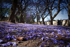 Suburban road with line of jacaranda trees and small flowers Royalty Free Stock Image