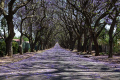 Suburban road with line of jacaranda trees and small flowers Royalty Free Stock Images