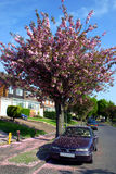 Suburban Spring. Spring arrives in an English residential street showering parked cars with cherry blossom Stock Image