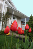 Suburban Tulips. Tulips covered with fine water droplets in new suburban development Stock Photos