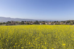 Suburban Wild Mustard Meadow near Los Angeles Royalty Free Stock Images