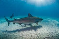 虎鲨和sucba潜水者水下的遭遇 免版税库存照片