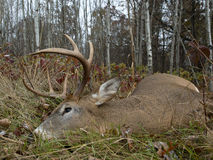 Successful Archery Deer Hunt Royalty Free Stock Images