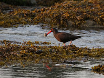 Successful Black Oystercatcher Stock Photography