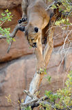 Successful Catch! Cougar / Mountain Lion With Mouse in Mouth Royalty Free Stock Images