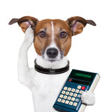 Successful dog accountant. Dog accountant thinking and calculating with calculator Stock Image
