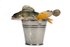 Successful fishing! Royalty Free Stock Photo