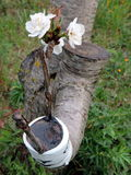 Successful graft in the branch of a cherry tree Royalty Free Stock Photography