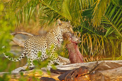 Successful Leopard. Leopard in Kruger National Park, South Africa, resting under a fallen tree Stock Photo