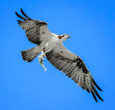 Successful Osprey with fish in talons,. Young Osprey with fish in talons, after many tries stock photo