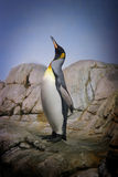 Successful penguin. Penguin with beak towards the sky and wings back on rocks stock photo