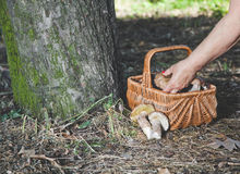 Successful quest for mushrooms in the forest Royalty Free Stock Image