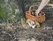 Successful quest for mushrooms in the forest Stock Photos