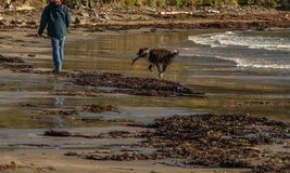 Successful retrieve of large stick from sea stock images