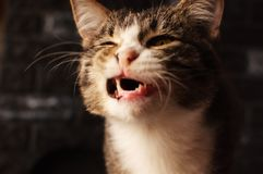Cat. A pet. Successful shot. The cat yawned stock photography