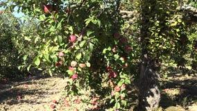 Successful year of orchard apple fruit tree harvest. Tilt down. 4K stock footage