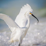 Succesvolle visserij witte aigrette Stock Afbeelding