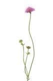 Succisa pratensis flower Royalty Free Stock Photos